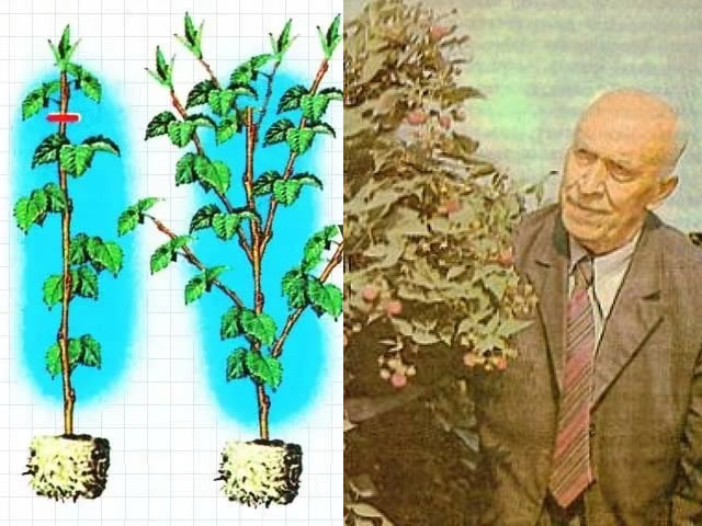Малина: посадка и уход, выращивание, полив, обрезка, пересадка и размножение, фото