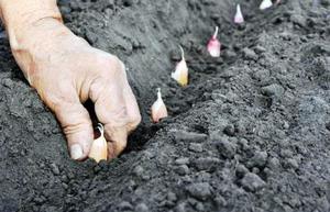 Посадка чеснока под зиму. когда сажать озимый чеснок осенью – дачные дела