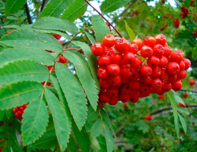 плод рябины