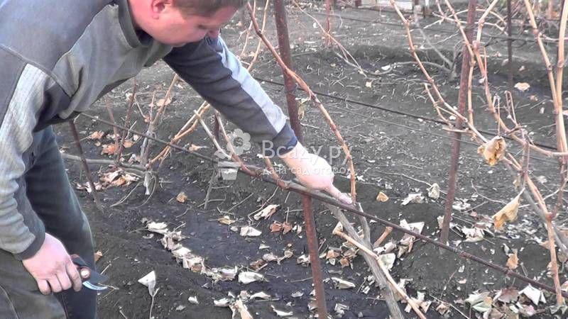 как виноград подготовить к зиме