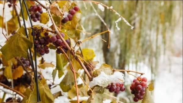 Подготовка винограда к зиме. основные этапы