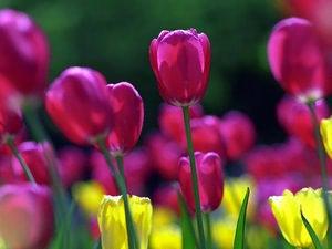 Какие цветы посадить вместе с тюльпанами, чтобы цвело позже. что посадить вместе с тюльпанами