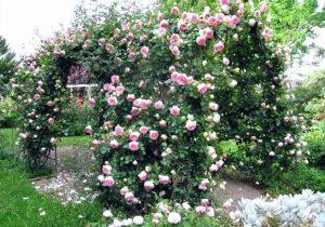 Плетистые розы: посадка и уход, размножение, обрезка, сорта, фото