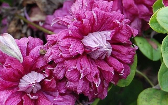 """Клематис """"пурпуреа плена элеганс"""": посадка и уход, размножение. лучшие сорта клематиса для выращивания в россии уход за взрослой лианой"""