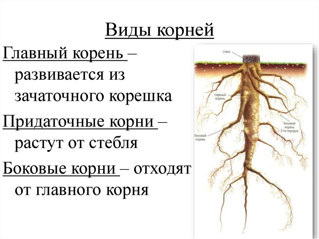 типы корней и корневых систем