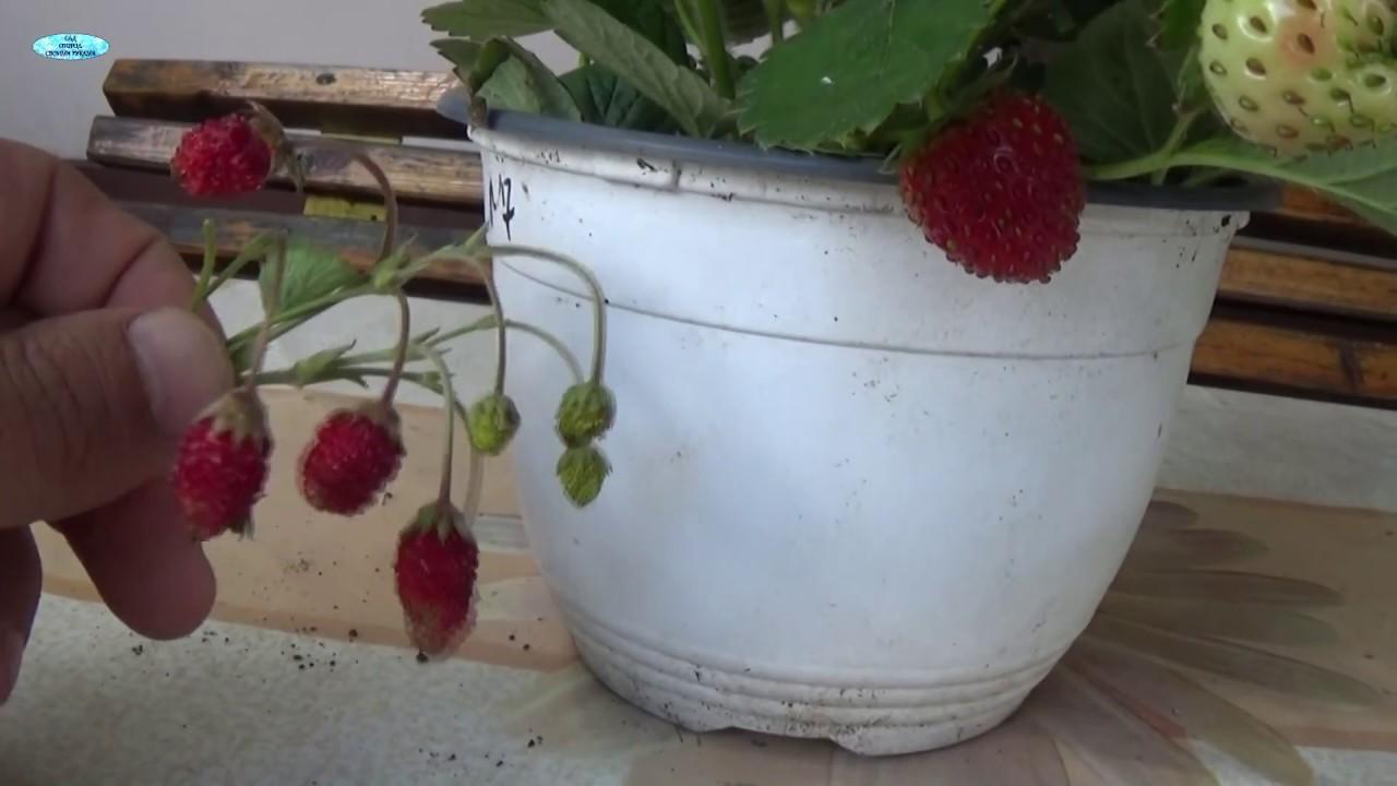 Как выращивать клубнику - в домашних условиях, в открытом грунте, выбор почвы и уход