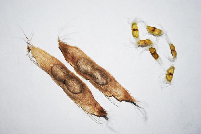 Катальпа: выращивание, размножение, виды и сорта