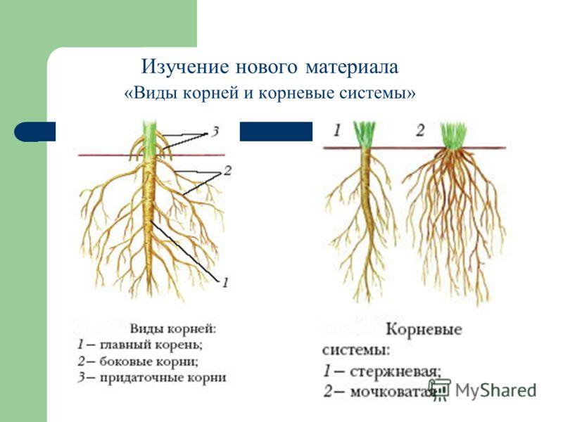 строение корней