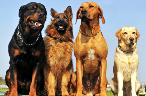 собака для охраны частного дома на улице