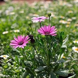 Остеоспермум: виды, посадка, выращивание и уход
