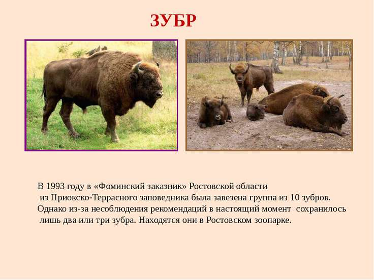 Зубр: описание животного, чем питается, среда обитания