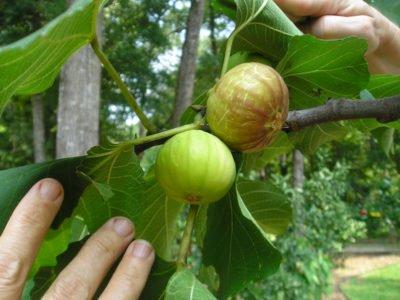 Инжир выращивание в домашних условиях, как вырастить плодоносящий комнатный инжир дома в горшке из ростка или косточки