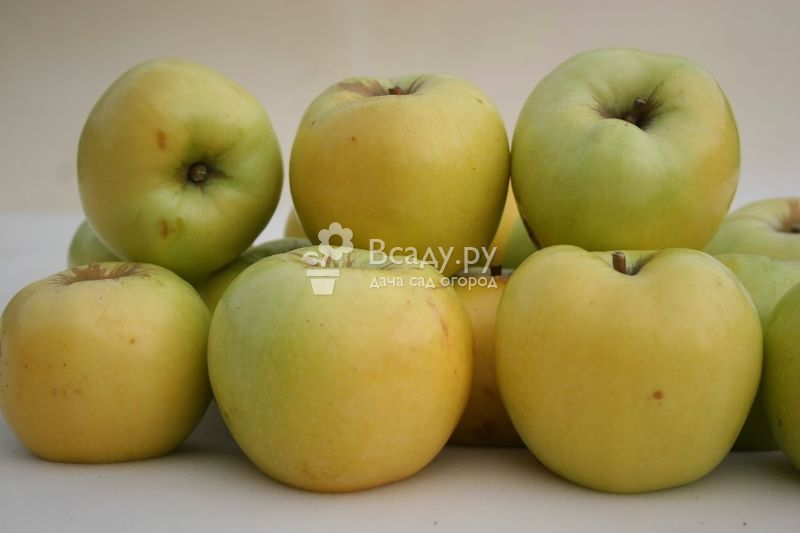 Лучшие поздние сорта яблони, в том числе для различных регионов, с описанием, характеристикой и отзывами, а также особенности их выращивания
