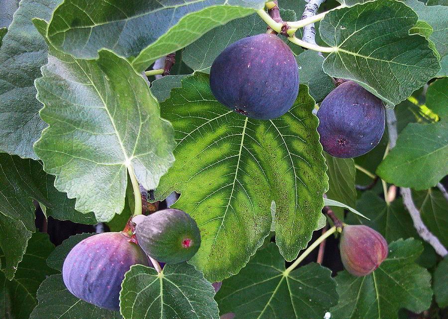 Выращивание инжира в открытом грунте и в горшках дома