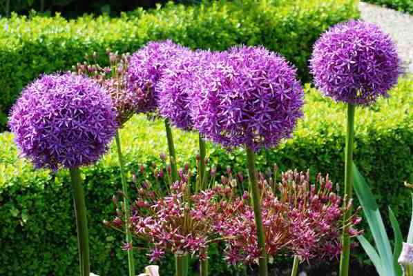 Что такое:: луковичные растения