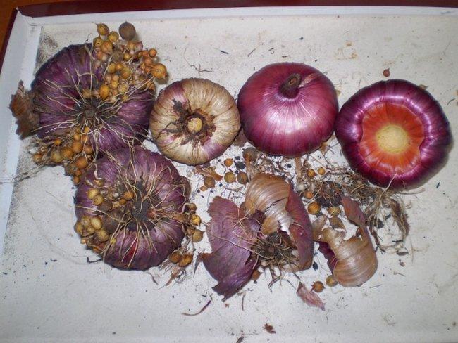 Как хранить луковицы гладиолусов?
