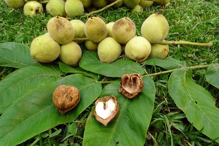 маньчжурский орех фото дерева