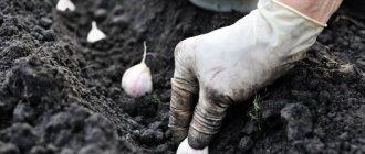 Посадка чеснока на зиму: сроки посадки и подготовка почвы