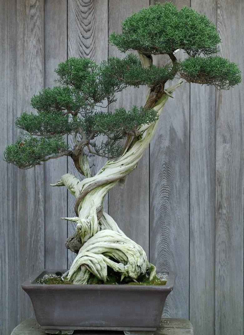 6 лучших растений для бонсай
