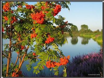Рябина обыкновенная дерево