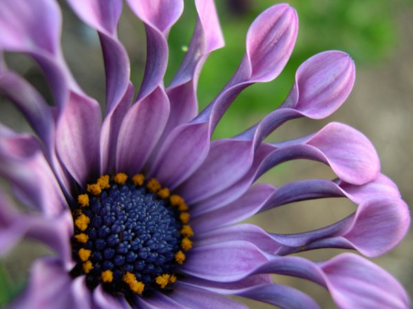 Остеоспермум: выращивание из черенков и уход. посев семян остеоспермума дома, успешное выращивание капской маргаритки