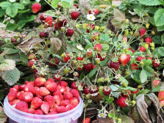 Как сажать клубнику: схемы и сроки посадки клубники в открытый грунт и в тепличных условиях (105 фото и видео)