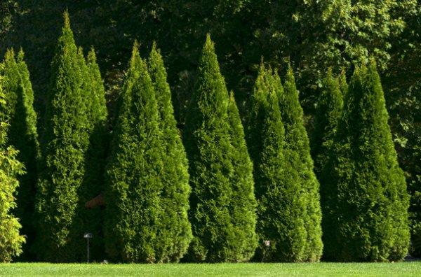 кустовые деревья