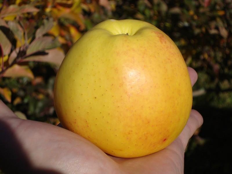 яблоня делишес
