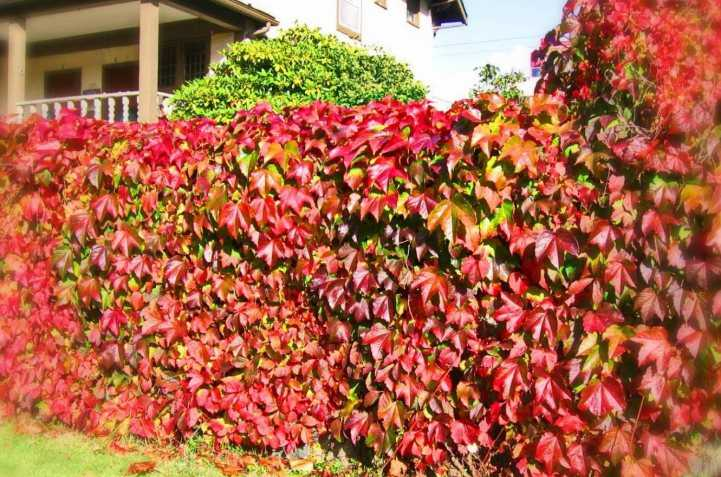 Лианы для сада - популярные виды растений и как правильно выращивать лианы (135 фото)