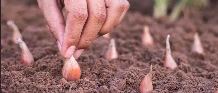 можно ли сажать лук под зиму