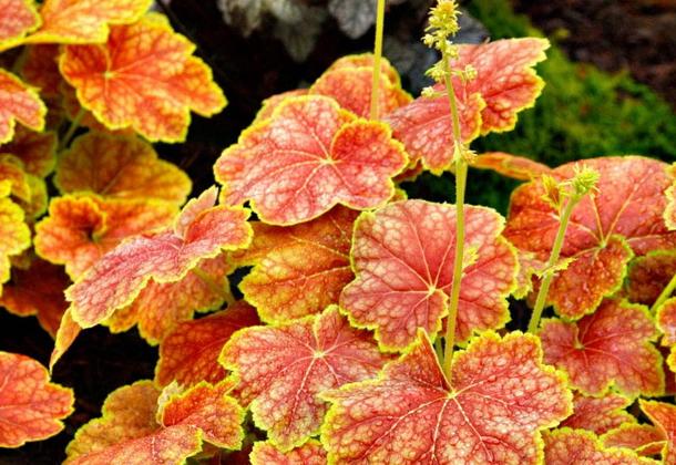 Гейхера - 77 фото основных видов для сада и цветение растения