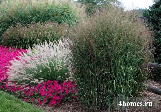 Декоративная трава - лучшие виды и самые необычные ландшафтные украшения (90 фото)
