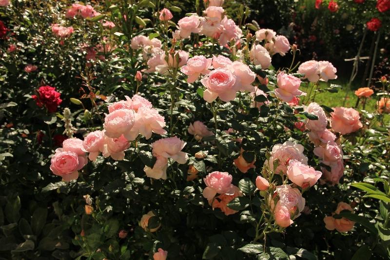 Любимые розы и немного стихов о них   страна мастеров