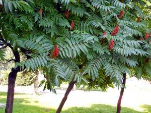Сумах оленерогий: посадка и уход, фото, выращивание в открытом грунте, размножение и сочетание в ландшафтном дизайне