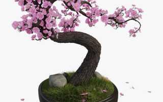 сакура растение