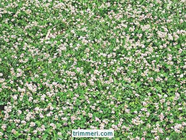Газон из клевера: плюсы и минусы посева ползучего клевера газон из клевера: плюсы и минусы посева ползучего клевера