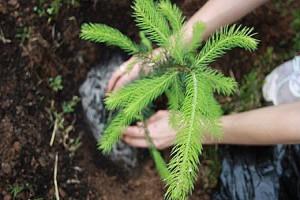 Ель - выращивание, посадка и размножение, советы по уходу