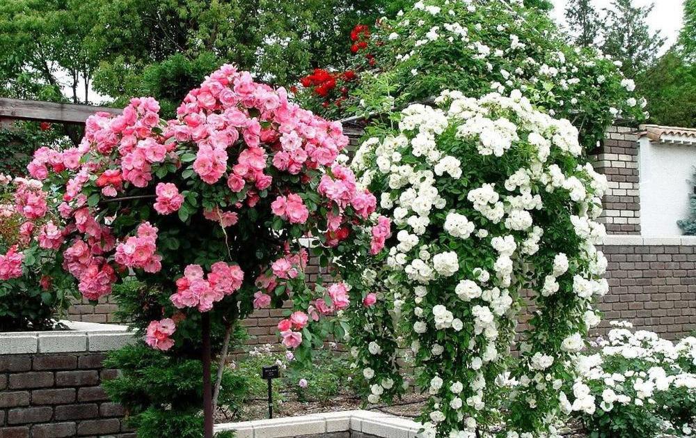 как размножить вьющуюся розу