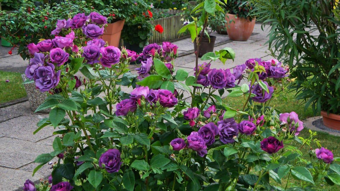 роза голубая рапсодия