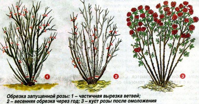 на сколько обрезать розы на зиму