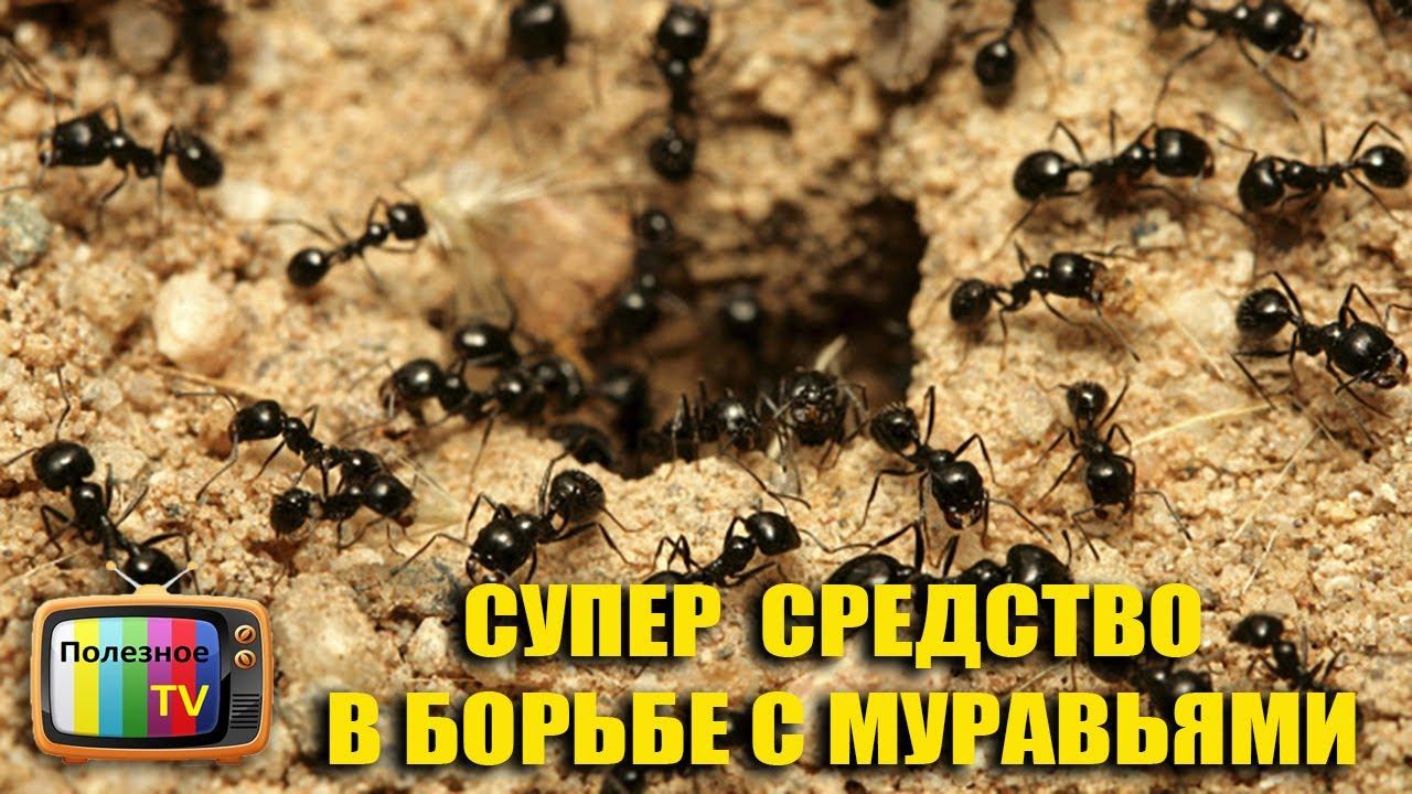 как вывести муравьёв с огорода