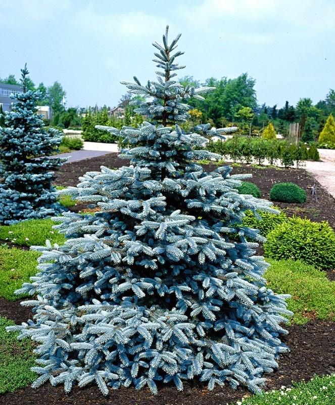 Фото 319руб. ель picea pungens glauca super blue seedling (горшок 1,5л)