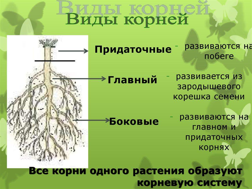 виды корневых систем