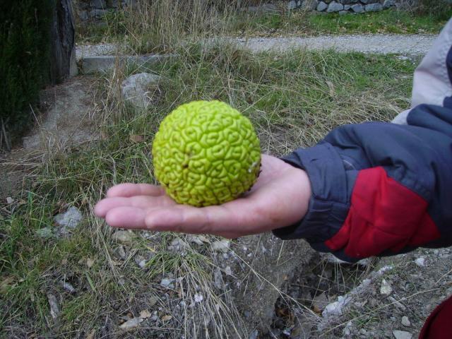 фрукт адамово яблоко лечебные свойства