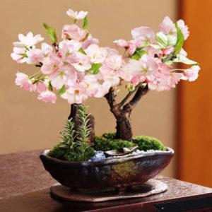 Бонсай из сакуры: как вырастить из семян японской сакуры бонсай в домашних условиях? в какой грунт лучше садить дерево? как правильно ухаживать?