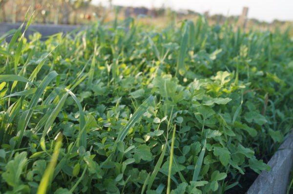 какие растения относятся к сидератам