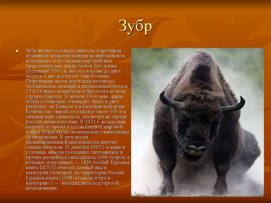 Зубр животное. образ жизни и среда обитания зубра | живность.ру