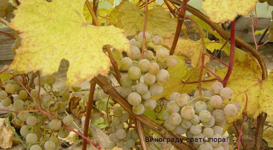 Как подготовить виноград к зиме в разных регионах россии