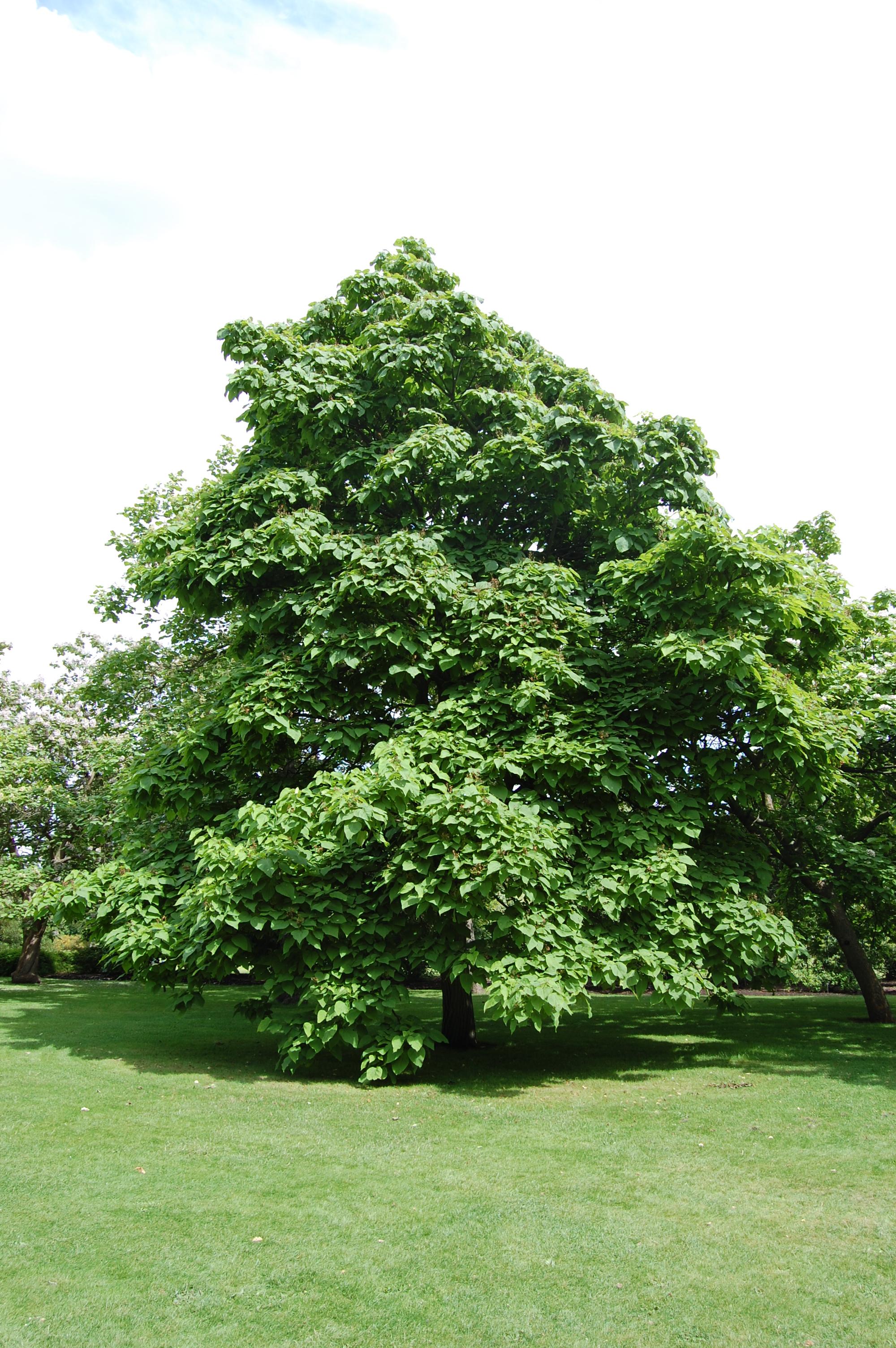 Дерево счастья катальпа – уход, обрезка, размножение