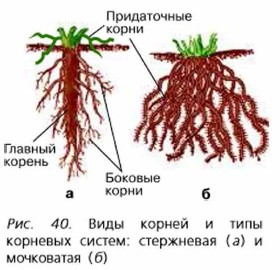особенности корневой системы